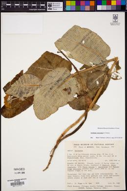 Asclepias otarioides image