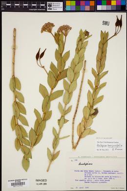 Asclepias barjoniifolia image