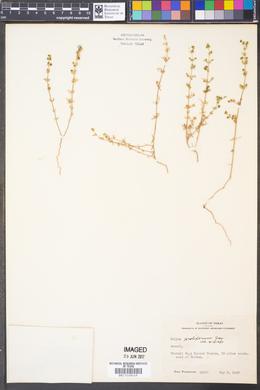 Galium proliferum image
