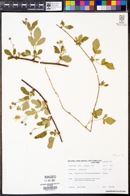 Rubus aboriginum image