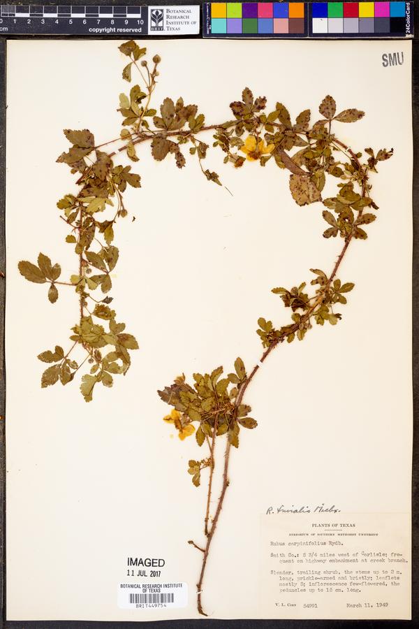 Rubus carpinifolius image