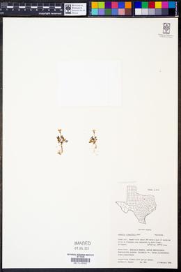 Houstonia pusilla image