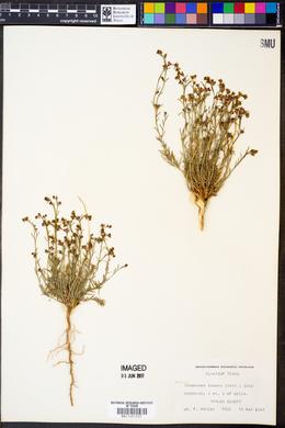 Thamnosma texanum image