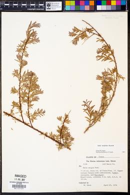 Salix taxifolia image
