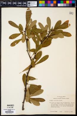 Sideroxylon lanuginosum subsp. rigidum image