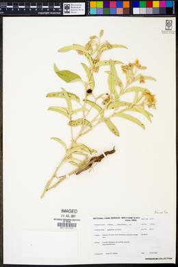 Solanum elaeagnifolium image