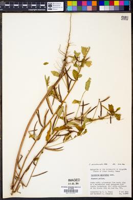Image of Corchorus pilolobus