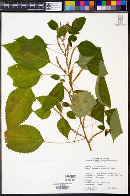 Boehmeria nivea image