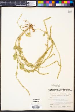 Verbena plicata image
