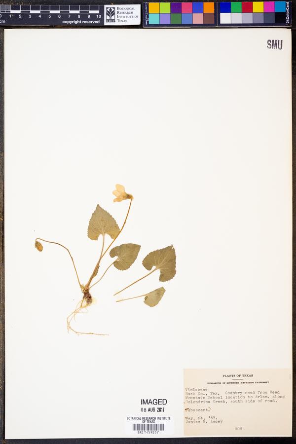 Viola abyssinica image