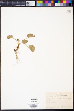 Viola villosa image