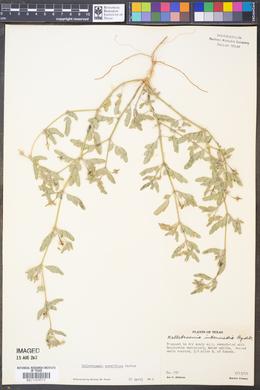 Kallstroemia parviflora image