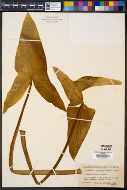 Peltandra tharpii image