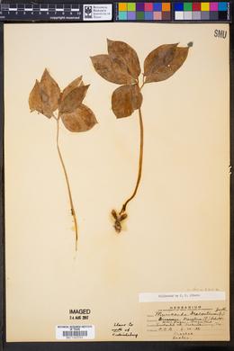 Muricauda dracontium image