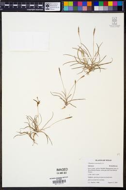Image of Tillandsia recurvata