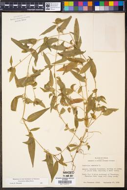 Image of Commelina diffusa