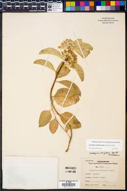 Asclepias aceratoides image