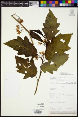 Image of Solanum caricaefolium