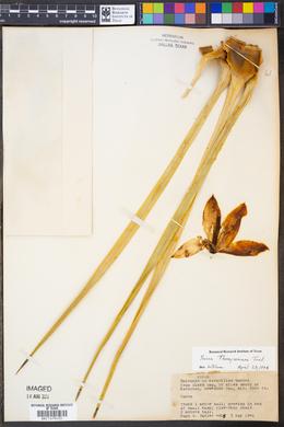 Yucca thompsoniana image