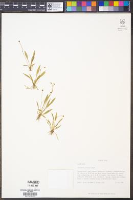 Image of Echinodorus parvulus