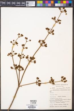Image of Echinodorus cordifolius