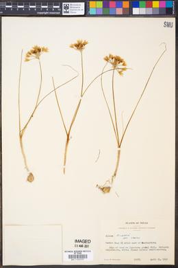 Image of Allium fraseri