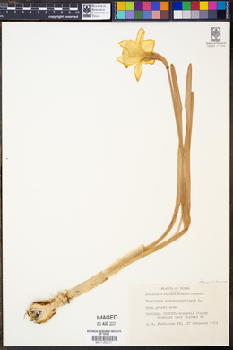 Image of Narcissus pseudonarcissus