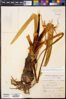 Hymenocallis galvestonensis image