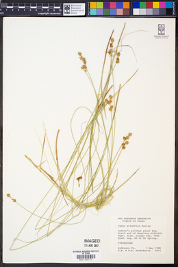 Image of Carex atlantica