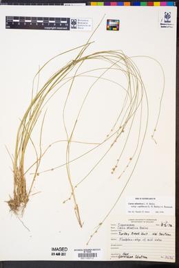 Carex atlantica var. capillacea image