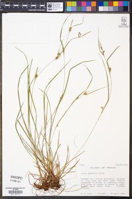 Image of Carex amphibola