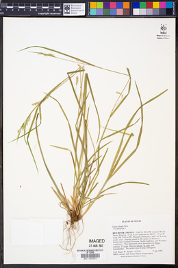 Image of Carex blanda