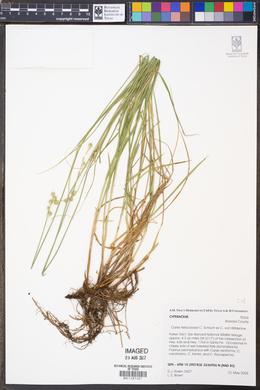 Image of Carex festucacea