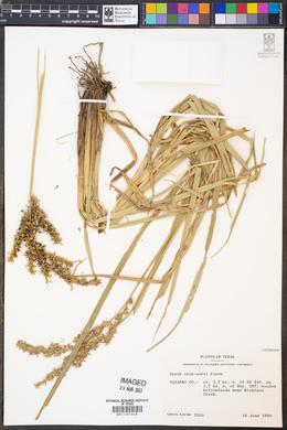 Image of Carex crus-corvi
