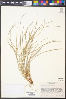 Image of Carex oligocarpa
