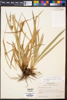 Image of Carex glaucodea