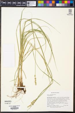 Image of Carex vulpinoidea