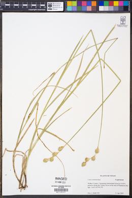Image of Carex tetanica