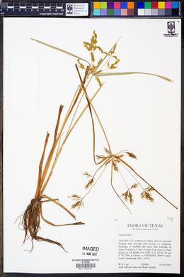 Image of Cyperus iria
