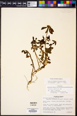 Portulaca umbraticola subsp. lanceolata image