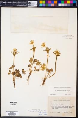 Anemone berlandieri image
