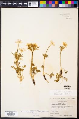 Image of Anemone okennonii