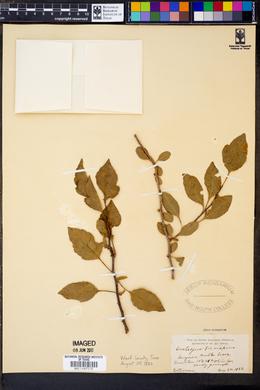 Image of Crataegus brevispina