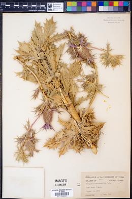 Eryngium leavenworthii image