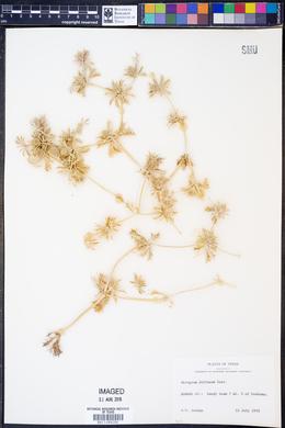 Eryngium diffusum image