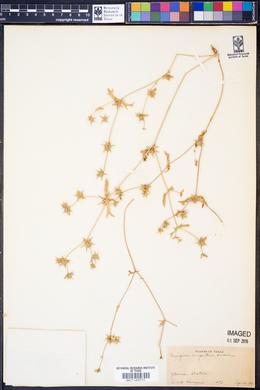 Eryngium nasturtiifolium image