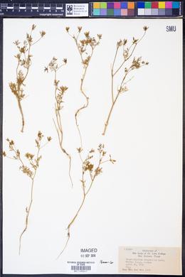 Image of Chaerophyllum dasycarpum