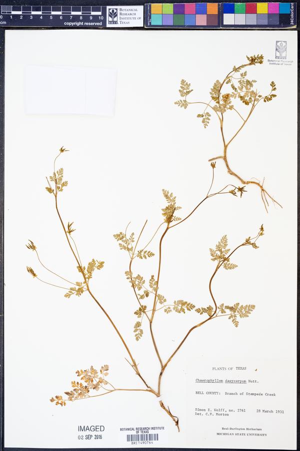 Chaerophyllum dasycarpum image