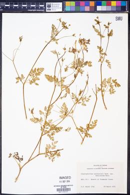 Chaerophyllum tainturieri var. dasycarpum image