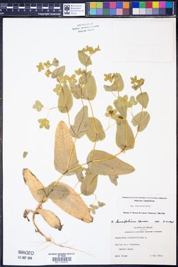 Bupleurum lancifolium image